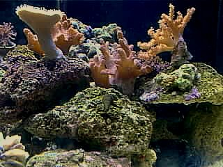 Some of my brood stock corals